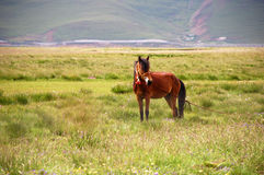 Horse. In landscape in Tibet Stock Image