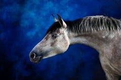 Horse. White horse on the blue background Stock Photos