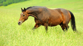 Horse. In meadow in summer day Royalty Free Stock Photography