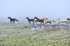 Horse. Runs gallop on the fog field Stock Image