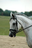 Horse. Head and neck of dappled grey swedish warm-blood horse with english bridle Royalty Free Stock Photos