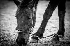 Horse. Tied up and eat grass Stock Images