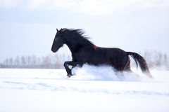 Horse. Black Friesian Horse in winter Stock Photography