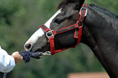 Horse. Close-up of horse refusing to go in wash stall Royalty Free Stock Photography