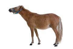 Horse. Portrait of horse with white background Royalty Free Stock Photography