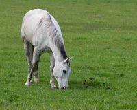 Horse. A beautiful dapple grey grazing in pasture Stock Photo
