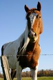 Horse. Beautiful appaloza in a blue sky Royalty Free Stock Images