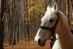 Horse. White horse in the forest Stock Photos