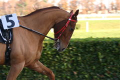 Horse. Return of competition Royalty Free Stock Image