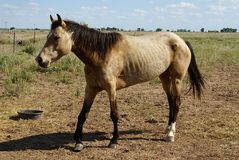 Horse. Outside in fenced yard area. Tan colored with lame leg, sores, and ribs showing Stock Images