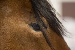 Horse. Close up of horse profile showing eye and forelock Royalty Free Stock Photo