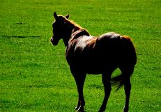 Horse. Beautiful horse walking on green grass in sunshine Royalty Free Stock Images