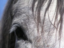 Horse. American quarter hores, detail, eye Stock Photography