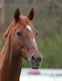 Horse Royalty Free Stock Photography