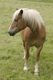 Horse. A single horse Royalty Free Stock Photography