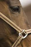 Horse. Portrait of a brown dressage horse Stock Image