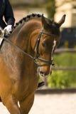 Horse. Portrait of a brown dressage horse Stock Photos