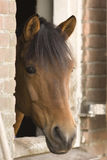 Horse. Portrait of a brown dressage horse Royalty Free Stock Photo