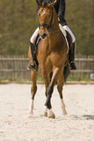 Horse. Dressage horse performing half pass Stock Images