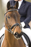 Horse. Portrait of a brown dressage horse Stock Images