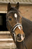 Horse. Portrait of a brown dressage horse Stock Photography