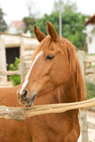 Horse. Brown horse standing behind fence royalty free stock images