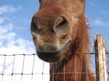 Horse. Big horse nose stock photos