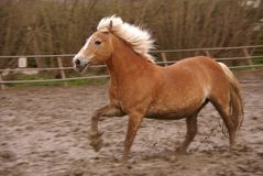 Horse. A Haflinger horse trotting in the paddock Stock Photos