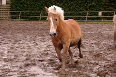 Horse. A Haflinger horse trotting in the paddock Stock Image