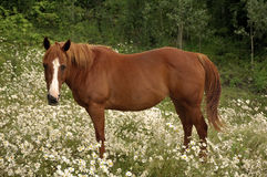 Horse. One brown horse standing on a field full with daisyes Royalty Free Stock Photography
