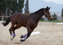 Horse. Running royalty free stock photos