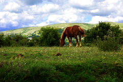 Horse. One brown horse in the mountain royalty free stock photography