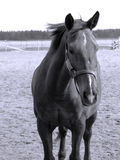 Horse. Monochrome image of a chestnut horse Stock Photos
