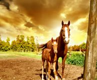Horses and Golden Sky Royalty Free Stock Photo