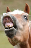 Horse. A laughing horse is showing his teeth Stock Photos