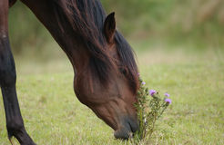 Horse. On a farm eating gras Royalty Free Stock Image