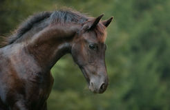 Horse. A young friesish horse with a very nice expression Royalty Free Stock Image