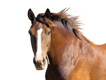 Horse. An isolated image of brown horse Royalty Free Stock Images