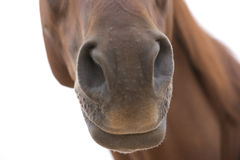 Horse. Big brown horse likes to pose for the camera Royalty Free Stock Image