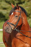 Horse. A headshot of an warmblood Stute with bridle Stock Photo