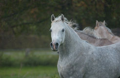 Horse. A portrait of young arabian stallion Royalty Free Stock Photos