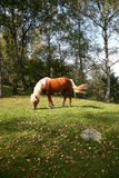 Horse. Brown horse with white manes in a field royalty free stock photos