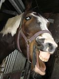 Horse. Mouth and great teeth Royalty Free Stock Image