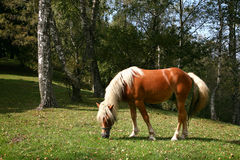 Horse. Brown horse in a pasture in the woods in autumn Stock Photo