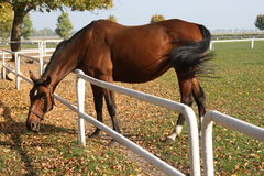 Horse. On the autumn meadow Royalty Free Stock Photography