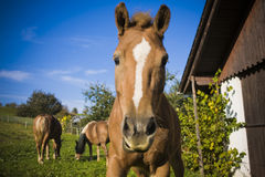 Horse. On a farm in summer Royalty Free Stock Photography