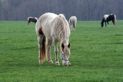 Horse. A horse eating in a pasture Royalty Free Stock Photos