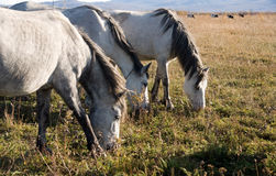 Horse. Beautiful three light horse grazes on meadow by autumn Stock Images