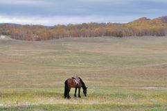 Horse. Inner Mongolia grassland and forest on the ranch Royalty Free Stock Photo