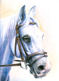 Horse. Portrait of gray horse watercolor painted.PIcture I have painted myself Royalty Free Stock Photos